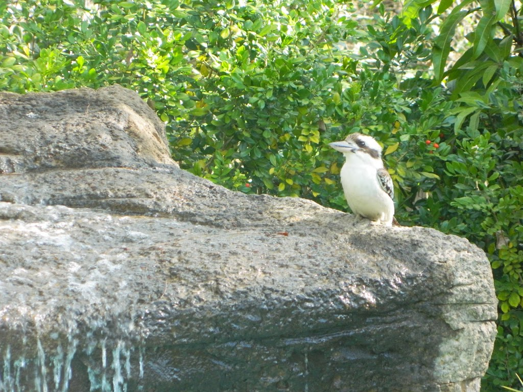 Kookaburra .. King of the bush is he.