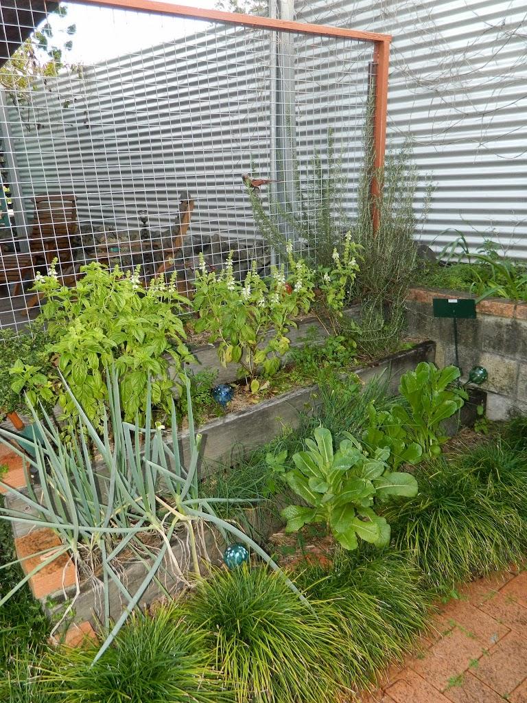 Basil farming